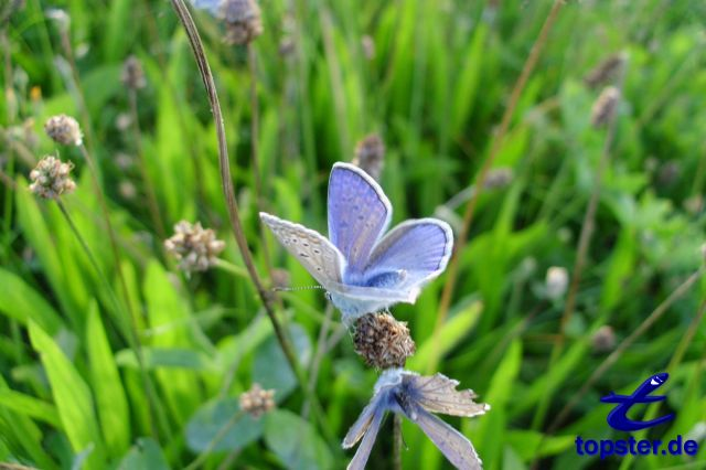 Blue butterfly on a blade of grass