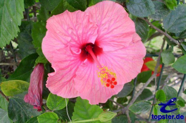 Hibiscus flori roz