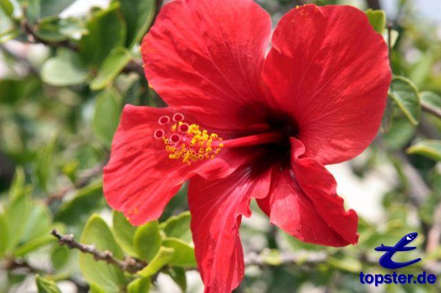 Hibiscus Flower Pink