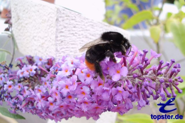 Hummel на бабочка Сирень