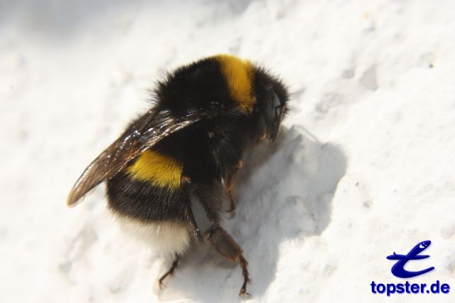 Bumblebee on a white wall