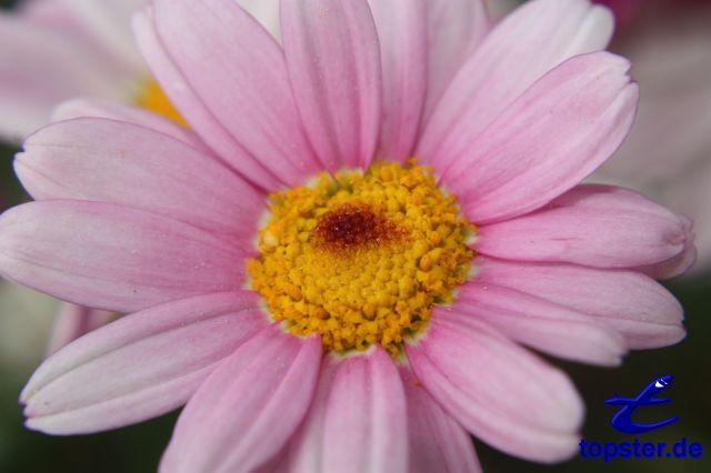 Różowy stokrotka