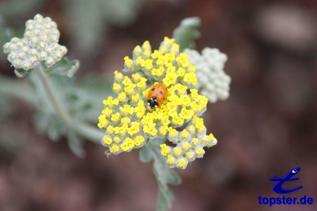 Lieveheersbeestje op een bloem